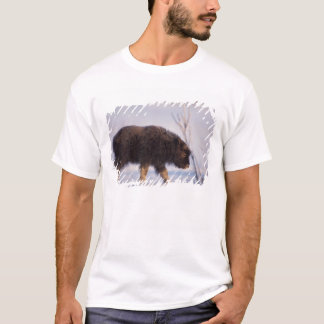 muskox, Ovibos moschatus, newborn calf on the T-Shirt