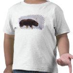 muskox, Ovibos moschatus, newborn calf on the T Shirt