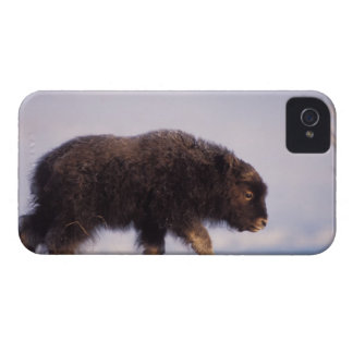 muskox, Ovibos moschatus, newborn calf walking Blackberry Case