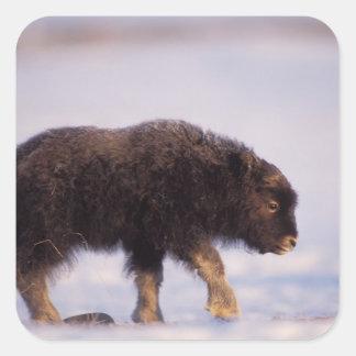 muskox, Ovibos moschatus, newborn calf walking Square Sticker
