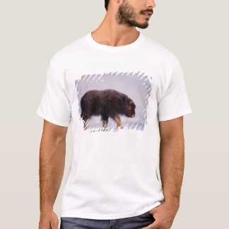 muskox, Ovibos moschatus, newborn calf walking T-Shirt
