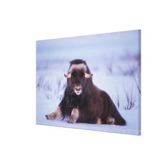 muskox, Ovibos moschatus, young bull on the Canvas Print