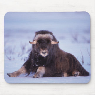 muskox, Ovibos moschatus, young bull on the Mouse Pad