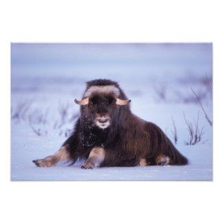 muskox, Ovibos moschatus, young bull on the Photo Art