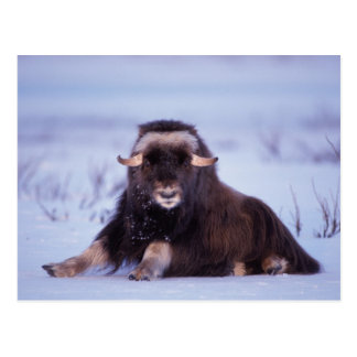 muskox, Ovibos moschatus, young bull on the Postcard