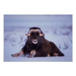 muskox, Ovibos moschatus, young bull on the Poster