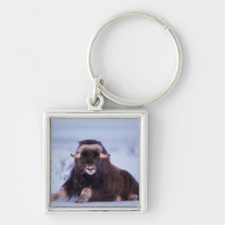 muskox, Ovibos moschatus, young bull on the Silver-Colored Square Keychain