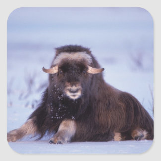 muskox, Ovibos moschatus, young bull on the Square Sticker