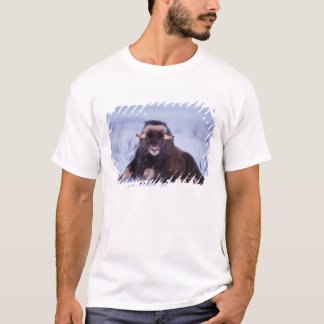 muskox, Ovibos moschatus, young bull on the T-Shirt