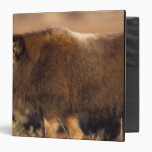 muskox, Ovibos moschatus, youth on the central Binders