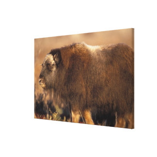 muskox, Ovibos moschatus, youth on the central Canvas Print