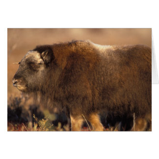 muskox, Ovibos moschatus, youth on the central Card