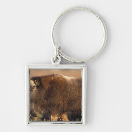 muskox, Ovibos moschatus, youth on the central Keychain
