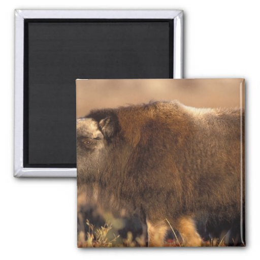 muskox, Ovibos moschatus, youth on the central 2 Inch Square Magnet