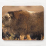 muskox, Ovibos moschatus, youth on the central Mouse Pad
