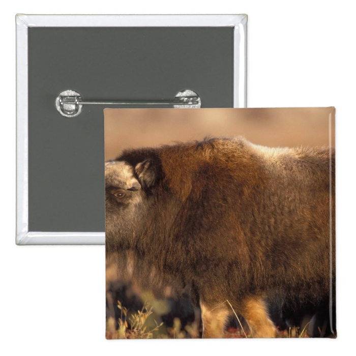 muskox, Ovibos moschatus, youth on the central Pinback Button