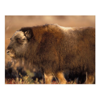 muskox, Ovibos moschatus, youth on the central Postcard