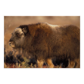 muskox, Ovibos moschatus, youth on the central Print