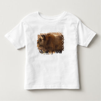 muskox, Ovibos moschatus, youth on the central Shirt