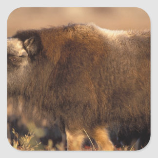 muskox, Ovibos moschatus, youth on the central Square Sticker