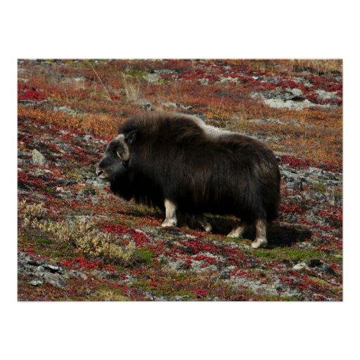 Muskox Posters
