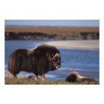 Muskox, vaca a lo largo de un río en el llano cost fotografias