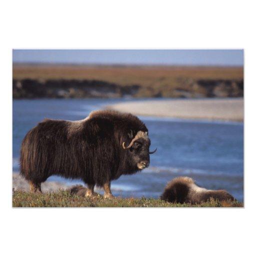 Muskox, vaca a lo largo de un río en el llano cost fotografia