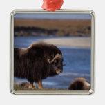 Muskox, vaca a lo largo de un río en el llano adorno cuadrado plateado