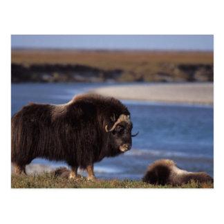 Muskox, vaca a lo largo de un río en el llano postal