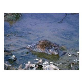 Muskrat en el borde del pantano postales