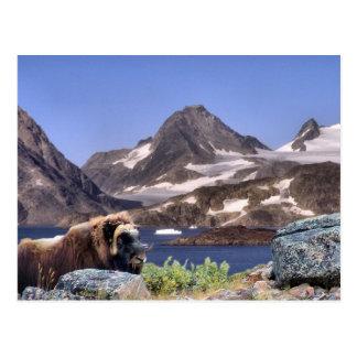 Muskus en Groenlandia Postales