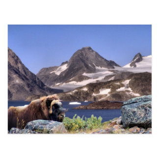 Muskus in Greenland Post Cards