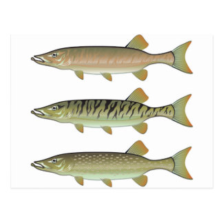 Musky Tiger musky and Northern Pike vector Postcard