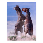 Mustang Fight 2 Postcard