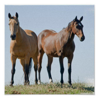 Mustang Horse Pair Poster