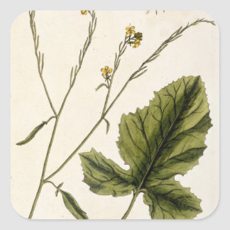 Mustard, plate 446 from 'A Curious Herbal', publis Square Sticker