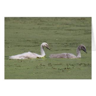 Mute Swan Cygnets Blank Cards