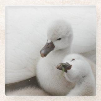 Mute Swan cygnets. Glass Coaster