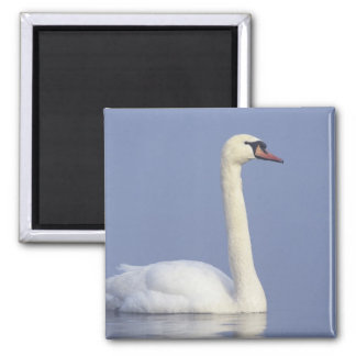 Mute Swan, Cygnus olor, adult in fog, 2 Inch Square Magnet