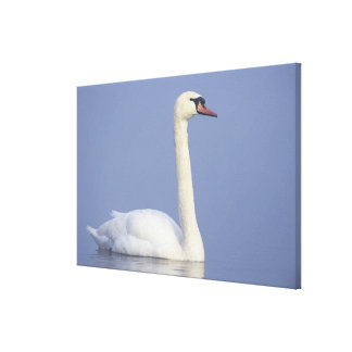 Mute Swan, Cygnus olor, adult in fog, Canvas Print
