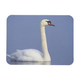 Mute Swan, Cygnus olor, adult in fog, Rectangular Photo Magnet