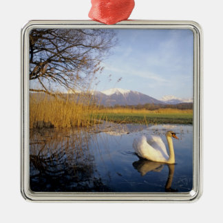 Mute Swan, Cygnus olor,adult with Alps in Metal Ornament