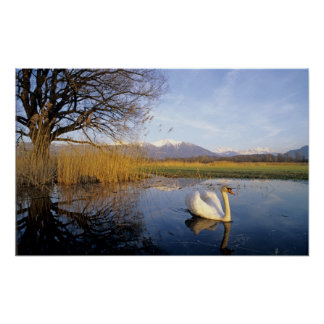 Mute Swan, Cygnus olor,adult with Alps in Poster
