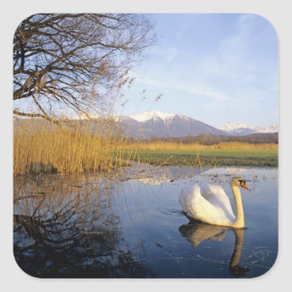Mute Swan, Cygnus olor,adult with Alps in Square Stickers