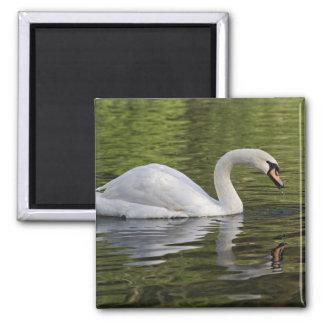 Mute Swan (Cygnus olor) Louisville, Kentucky Magnet