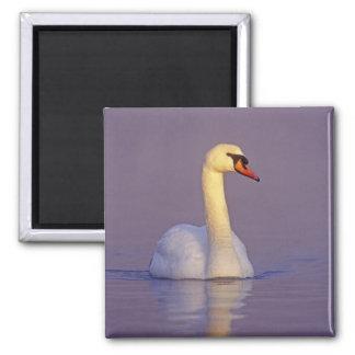 Mute Swan, Cygnus olor,male, Unterlunkhofen, 2 Inch Square Magnet
