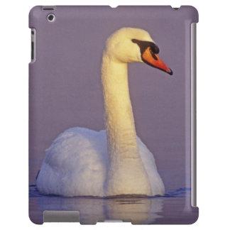 Mute Swan, Cygnus olor,male, Unterlunkhofen,