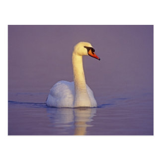 Mute Swan, Cygnus olor,male, Unterlunkhofen, Postcard
