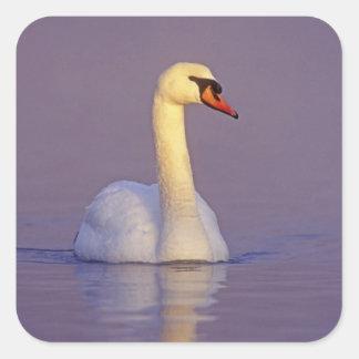 Mute Swan, Cygnus olor,male, Unterlunkhofen, Square Sticker