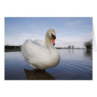 Mute Swan (Cygnus olor) on flooded field, Card